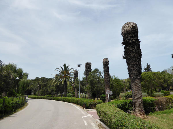 Dead Canary Islands date palms, killed by red palm weevils, line a road in La Mersa, Tunis, Tunisia.