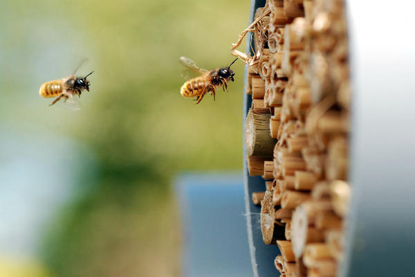 Researchers monitored the health of these wild bees, from the species <em>Osmia bicornis</em>. They nest inside small cavities, such as hollow reeds.