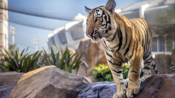 Mike, the LSU Tigers mascot, is an 11-month old Siberian-Bengal mix.