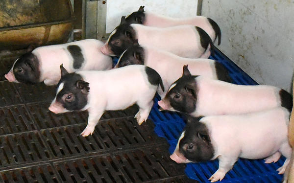 The genetically modified low-fat piglets