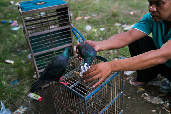 Parno, one of the pigeon racers, gives his birds water from a tiny handmade paper cup.
