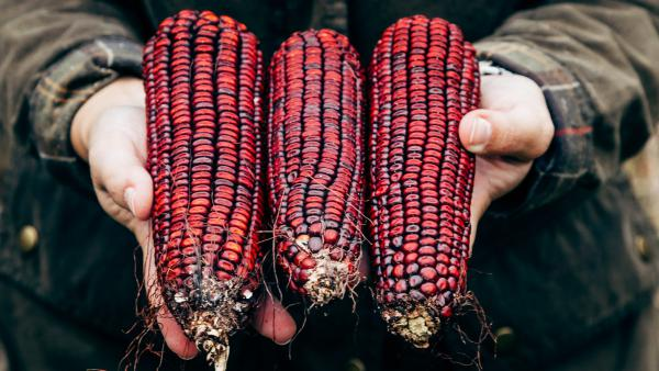 For nearly a century, Jimmy Red corn was used by bootleggers to make moonshine whiskey. The variety nearly went extinct in the early 2000s, but two remaining ears of corn were used to revive it. Now, the heirloom corn is thriving in the South, and being used widely by chefs and distillers.