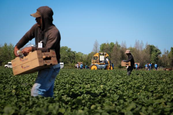 The strawberry harvest is underway near Duette, Fla. In the background, the strawberry-picking robot awaits its turn.