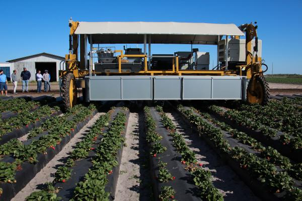 The strawberry-picking robot enters a field near Duette, Fla.