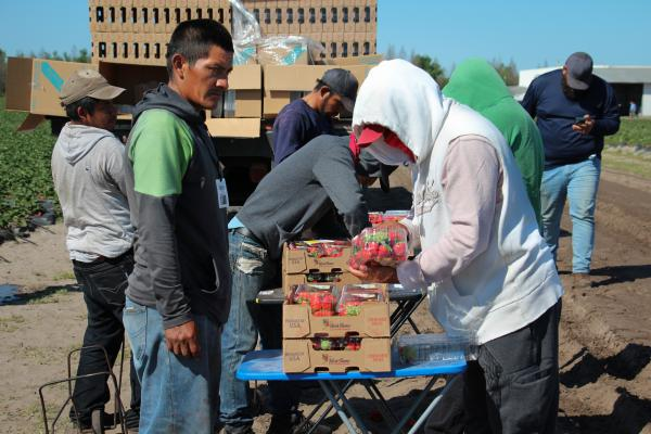 Workers deliver clamshell packages of strawberries for inspection before they're loaded on a truck.