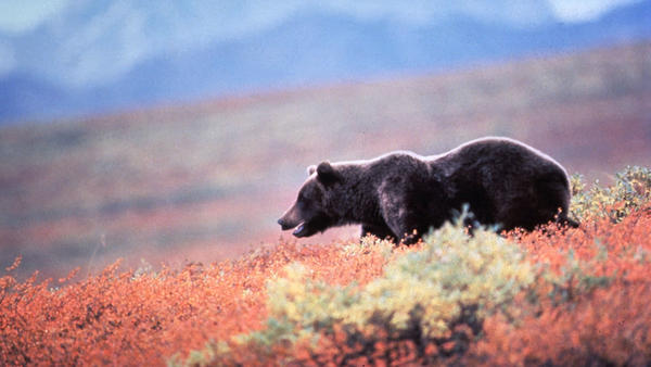 """Some ranchers in Washington state fear reintroducing grizzlies, like this one seen in Alaska, will bring a """"catastrophic"""" threat to their livelihood."""