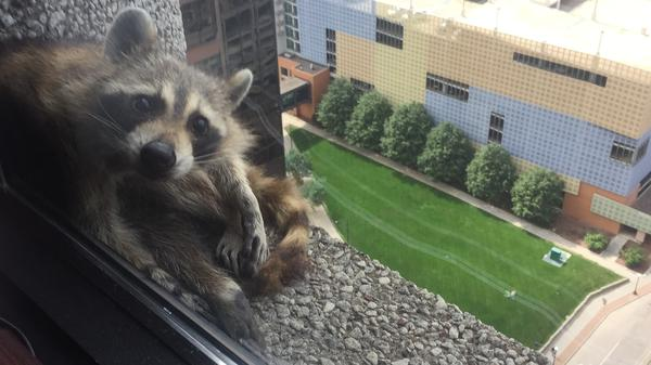 The #mprraccoon peers inside a law firm on the 23rd floor of the UBS Bank building on Tuesday. The animal has been captured.