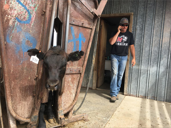 A sickly calf waits for meds in a squeeze shoot while rancher Jeremy Symons takes a call outside of Madras, Oregon.