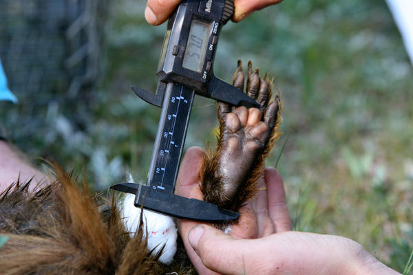 Dana Williams, a member of the UCLA team, measures the clawed paw of a yellow-bellied marmot. The researchers measure paw size and weight and take blood and stool samples from the marmots they catch.
