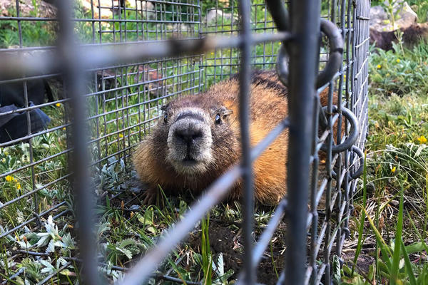 Marmot researchers at the Rocky Mountain Biological Laboratory try to capture and tag every yellow-bellied marmot in their research area to know how individuals and populations are impacted by changing climate conditions.