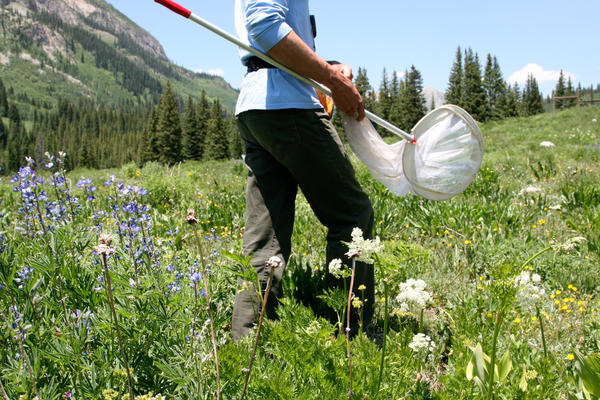 Michael Stemkovski and the bee team walk through meadows of purple lupines and other wildflowers looking for native bees.