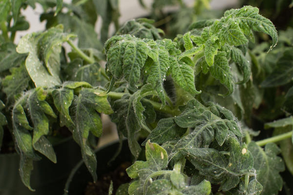 Whiteflies feeding on a tomato plant that infected with yellow leaf curl virus.