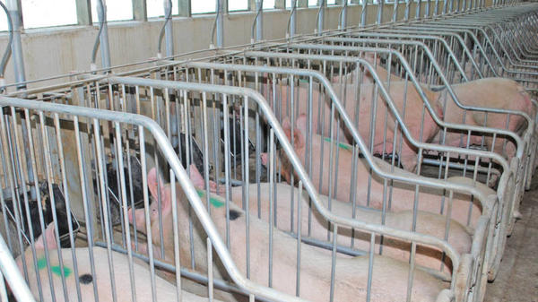 Pigs in gestation crates. If Proposition 12 passes, pork sold in California would have to come from pigs kept in much larger pens.