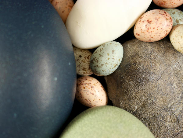 Assortment of paleognath and neognath bird eggs and a fossil theropod egg (right).