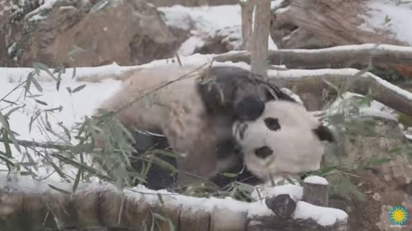 Smithsonian's National Zoo has released a video of panda Bei Bei rolling around and having a great time in the snow earlier this week.