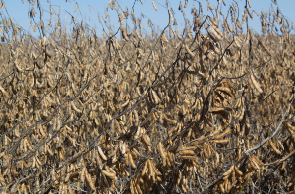 A soybean field is ready for Harvest in Iowa.