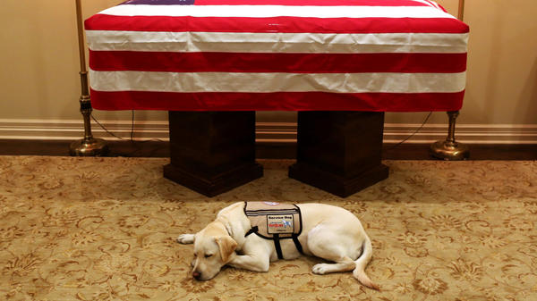 Former President George H.W. Bush's service dog lies in front of his casket in Houston on Sunday. The 41st president died Friday at the age of 94.