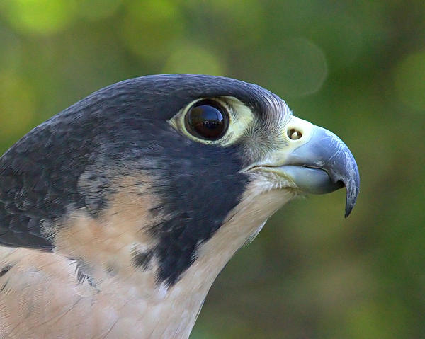 The peregrine falcon is returning to densely-populated parts of Connecticut.