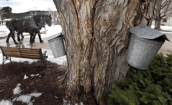 Sap buckets hang from a maple tree as draft horses Bill and Cote walk past in Alton, N.H. in 2016. (Jim Cole/AP)