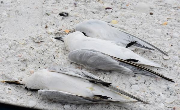Two dead terns lie on a residential beach in Marco Island.
