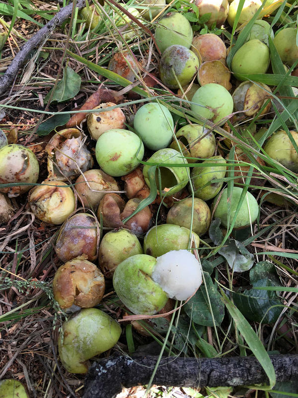 The marula fruit seems to hold a special power over <em>D. melanogaster</em>, which prefers it above all others.
