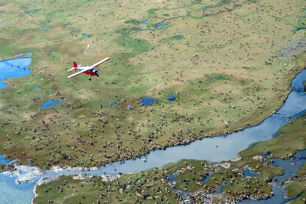 In this undated file photo provided by the U.S. Fish and Wildlife Service, an airplane flies over caribou from the Porcupine Caribou Herd on the coastal plain of the Arctic National Wildlife Refuge in northeast Alaska.