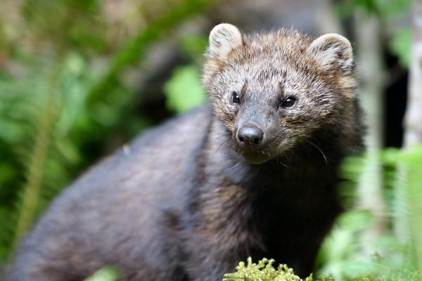 Fishers are among the lesser known carnivores native to Pacific Northwest forests.