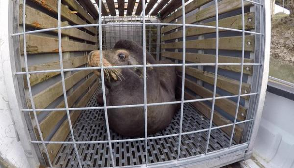 <p>The Oregon Department of Fish and Wildlife has applied for a permit to kill sea lions at Willamette Falls to protect a threatened run of winter steelhead.</p>