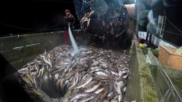 <p>Groundfish trawlers will soon be allowed to catch more fish as depleted populations recover from overfishing.</p>