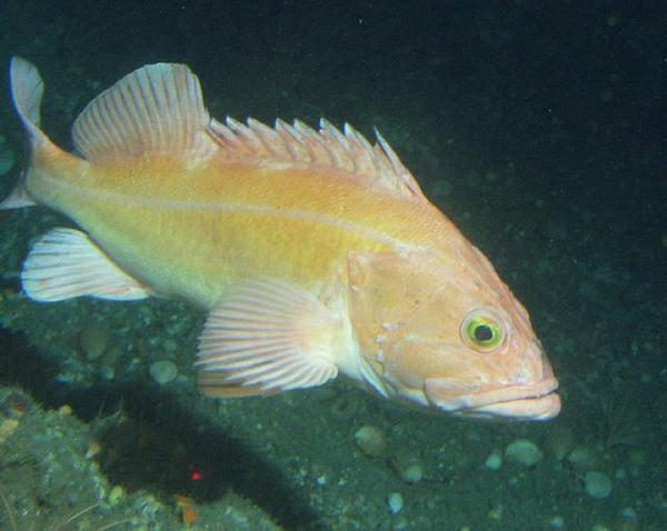 <p>Yelloweye rockfish have been severely restricted because of overfishing, but they're recovering much faster than expected.</p>