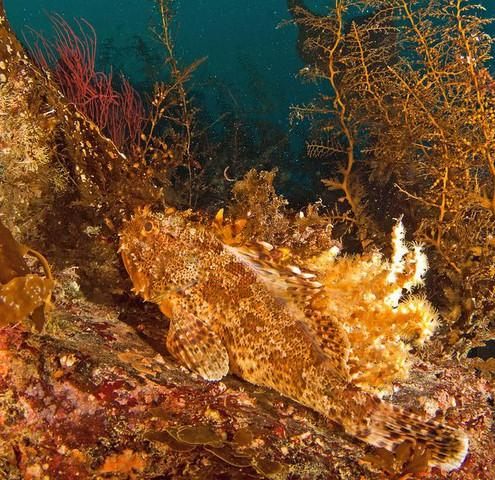 <p>Scorpionfish are one of dozens of species that live on the bottom of the Pacific Ocean and get caught in groundfish trawl nets.</p>