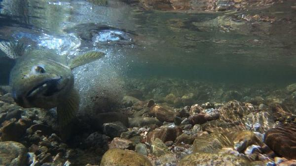 <p>An adult steelhead digs a crevice into a streambed to deposit fish eggs into the gravel. Environmentalists worry dredging can upset the spawning cycle by disturbing these deposits.</p>