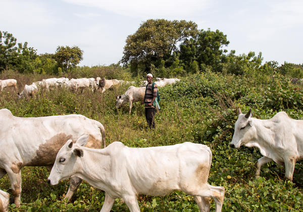 Sale Tambaya, a cattle herder in central Nigeria, grazes his cows. After his home state criminalized open grazing in November 2017, he and his family fled with their livestock to a neighboring state where grazing is allowed. Two of his sons died on the journey.