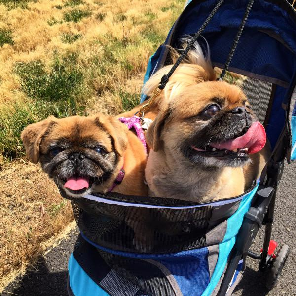 Two Pekingese pups go for a stroll in Lewiston, Idaho during summer 2016.