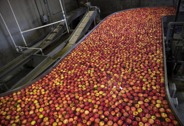 <p>Apples flow through the front end of the packing line known as the flume on Tuesday, Nov. 20, 2018, at Gilbert Orchards in Yakima.</p>