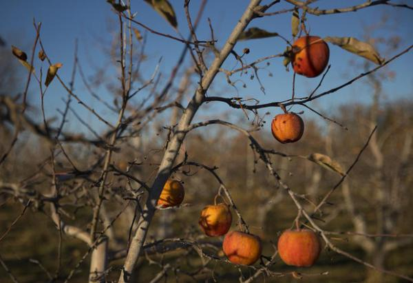 <p>Apples in the organic orchard next to the Perez house are shown on Monday, Nov. 19, 2018, in Quincy.</p>