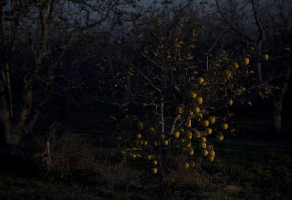 <p>Apples are shown in the organic orchard next to the Perez house on Monday, Nov. 19, 2018, in Quincy.</p>