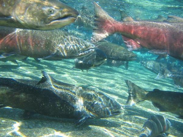 <p>The Yurok tribe has canceled chinook salmon fishing for the third year in a row.</p>