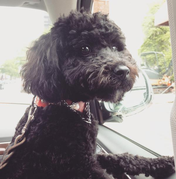 "NPR's Scott Simon's dog, Daisy, ""driving' in France."