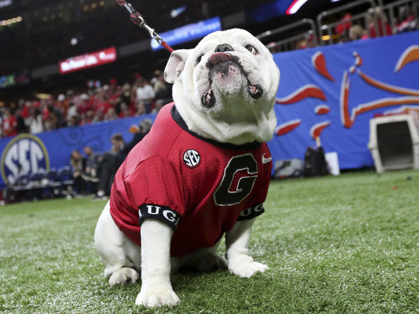 Uga, the University of Georgia mascot, sits near the sideline during the second half of the NCAA Sugar Bowl game against Texas in New Orleans on Tuesday.