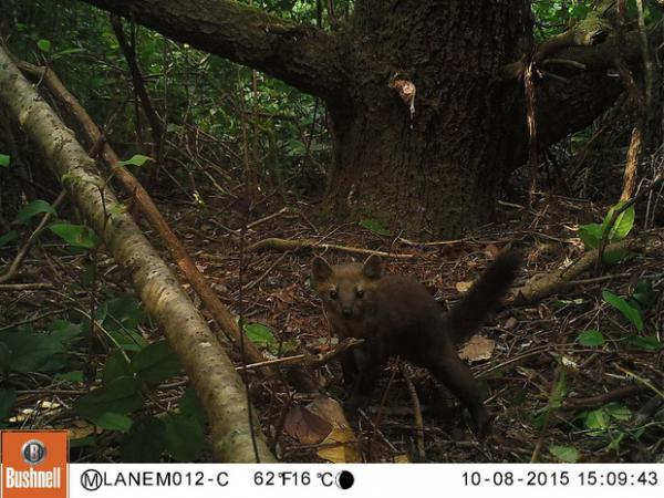 <p>New research concludes that trapping just a few Humboldt martens for their fur would put the species at risk of extinction.</p>