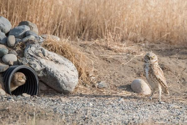 <p>A pair of burrowing owls has claimed one of Johnson's DIY burrows.</p>