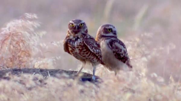<p>Burrowing owls on the Umatilla Chemical Depot in Umatilla, Oregon.</p>