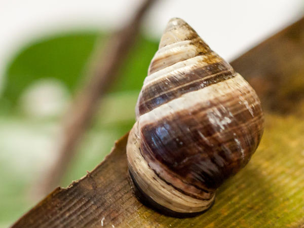 George, the last known <em>Achatinella apexfulva</em>, a Hawaiian land snail, died on New Year's Day.