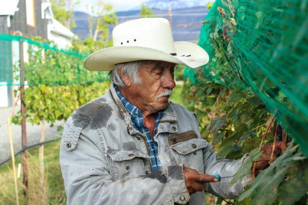 A man works in a vineyard in Colorado.