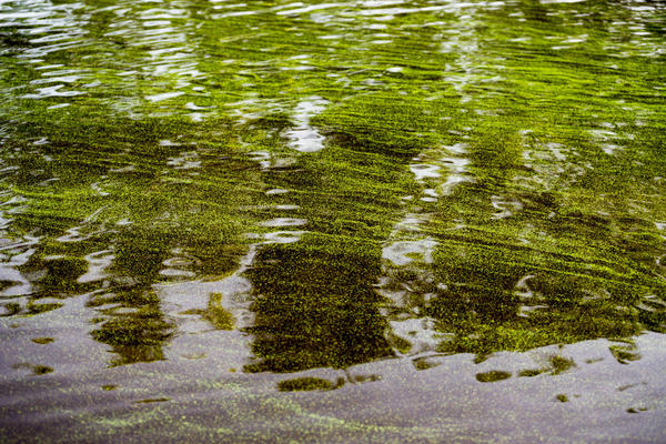 Blue-green algae on the Caloosahatchee River on July 2018. Blue green algae is known as cynobacteria and produces a liver toxin.