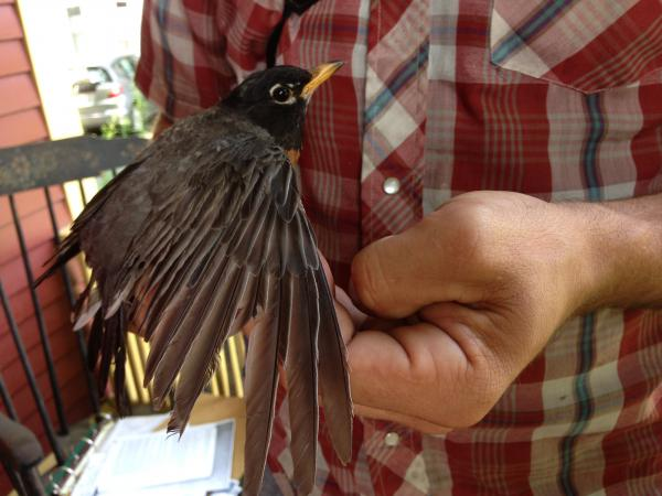An American Robin is measured as part of federal research on urban wildlife in a backyard in Greenfield, Massachusetts.