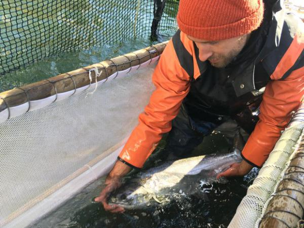 <p>Fish trap operators can pick out the hatchery salmon for harvest and release the wild salmon so they can return to their spawning grounds.</p>