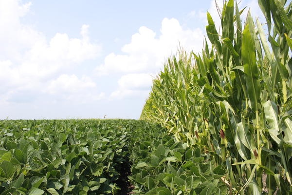 Rotating crops from corn to soybeans in regular intervals helps boost yields for both crops. For some, that means two years of corn and one of soybeans. For others, it means switching every year.