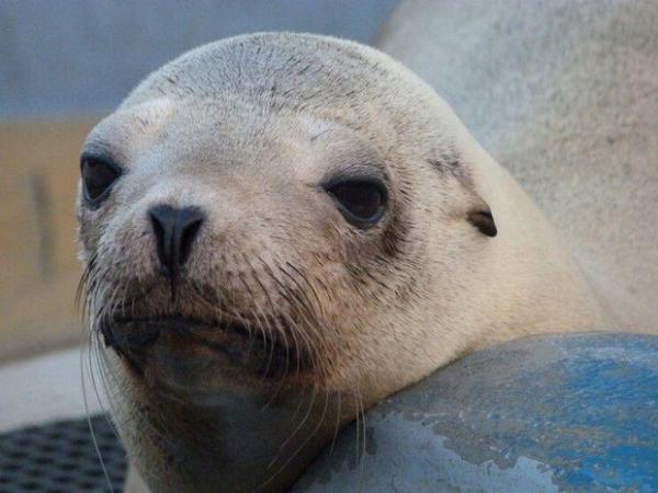 <p>Superstition, a California sea lion, was brought to the Marine Mammal Center. Veterinarians suspected she had cancer, which was confirmed with a radiograph and ultrasound. Shedied just days after her rescue.</p>